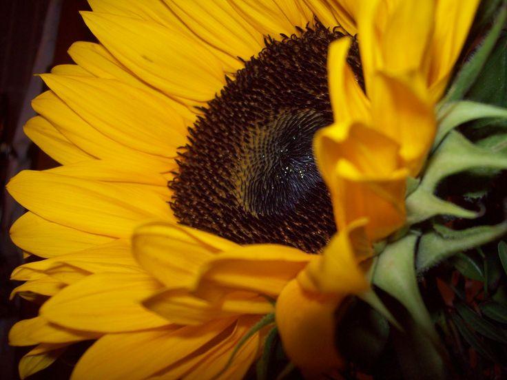 girasole - helianthus annus