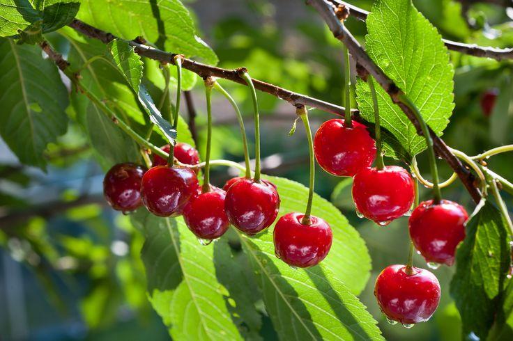 Come coltivare alberi da frutto in casa