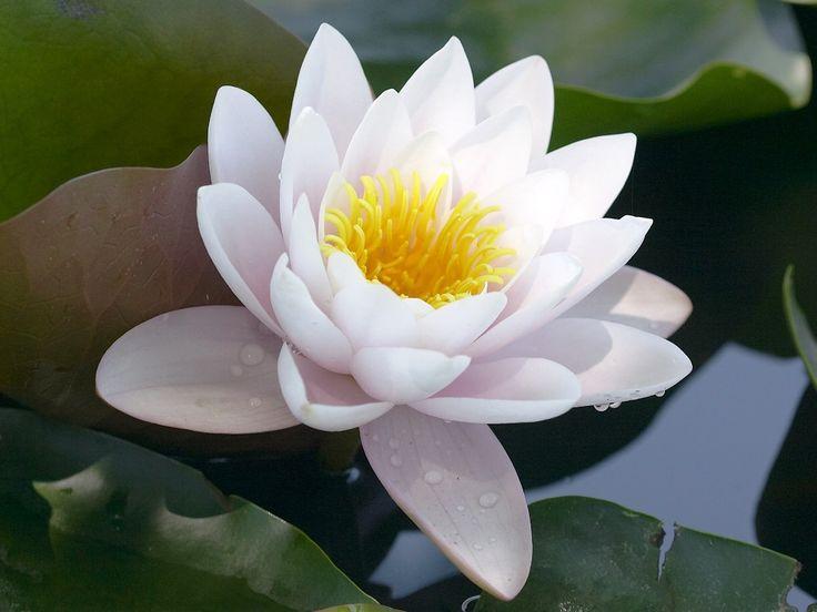 Gambar Bunga Teratai Putih Yang Indah