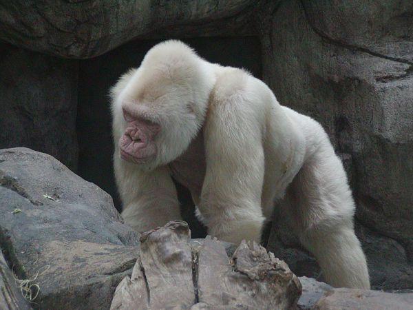 """""""Copito de nieve"""" gorila albino. Fué encontrado en la selva. Único gorila albino de la época conocido por el ser humano, o que tenemos pruebas de que ha existido. Este fué juntado con otros gorilas negros para obtener mas albinos, cosa que no dió resultado."""