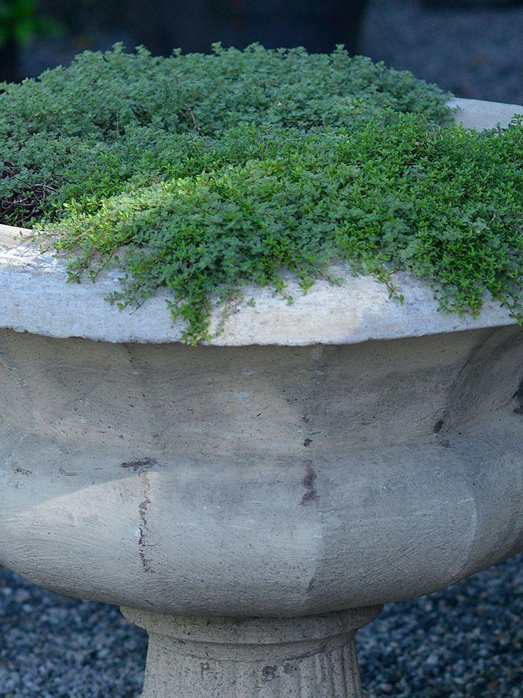 Gråtimjan - Perenner - Trädgårdsväxter