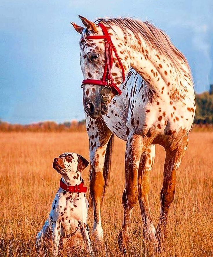 Dalmatians and horses are all I want