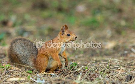 Красная белка — Стоковое фото © Studio-N1 #82865314