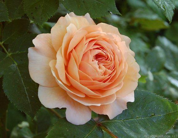 (klim)roos 'Leander'- syn. 'Lovely Apricot' - Austin (1982). Dubbele…