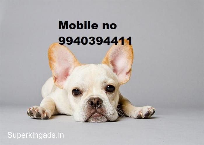 French Bulldog Puppies For Sale In Chennai Pls Call 9940394411