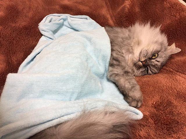 腹巻被ってるなう。の図。猫巻やん…#あざとい #あざとい猫 #腹巻き #腹巻き猫 #sleepy #sleep #catstagram #まるねこ #まんまるねこ #ネコスタグラム #ベンスタグラム #catstagram #ネコスタグラム #にゃんすたぐらむ #猫 #ネコスタグラム #愛猫 #ねこら部 #フォローミー #followme #猫好きさんと繋がりたい #cats #ネコ #まる #アメリカンショートヘア #チンチラシルバー #チンチラ # #cat #猫 #ウインク #ウインクキラー #ウインクねこ #ねこ好き