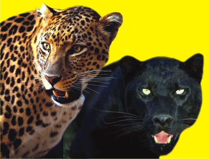 """Черные пантеры и леопарды"""" Марицы Запашной"""