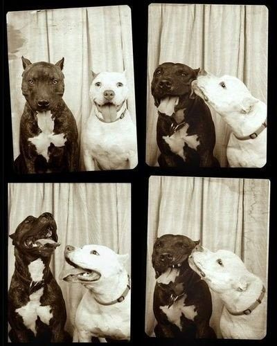 Two pit bull friends in a vintage photo booth.