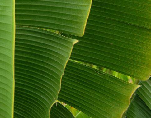 BANANENBLAD. Het enorme, bijna rechthoekige blad van de tropische bananenboom. Een bananenblad is uitermate geschikt om lekkere visjes en tropische maaltijden in te bereiden. Gestoomd en supergezond. Als je met een bananenblad kookt, blijven alle sappen lekker in het pakketje hangen. Olie is niet nodig. Hierdoor blijven alle belangrijke voedingsstoffen aanwezig.