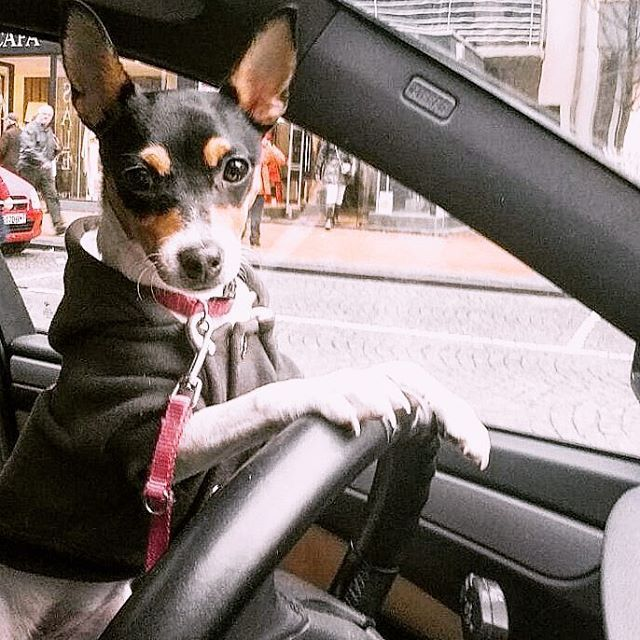When you let your Toy Fox Terrier take a stab at driving...