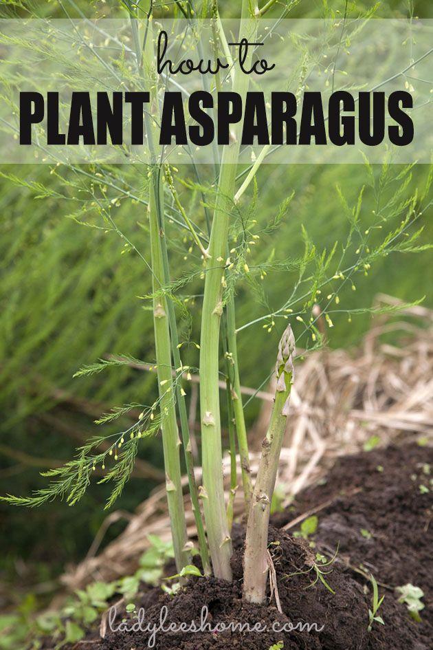 How To Plant Asparagus Crowns And Grow Asparagus For Years In 2020 Asparagus Plant Growing Asparagus Asparagus Garden