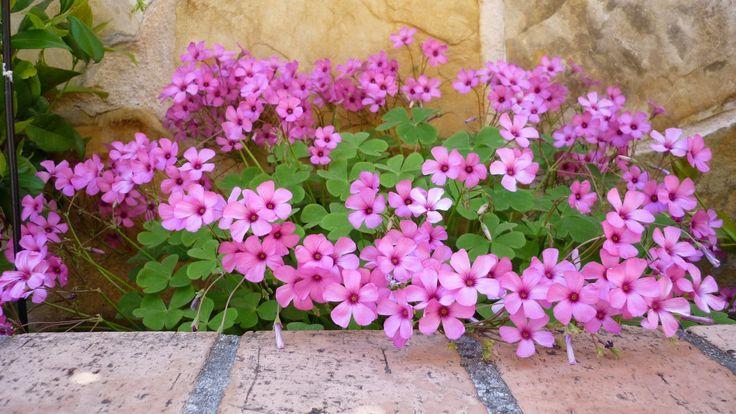 Trébol, Vinagrillo de flores rosadas,