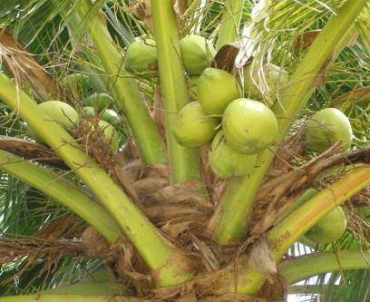 Coconuts, Koh Chang, Thailand