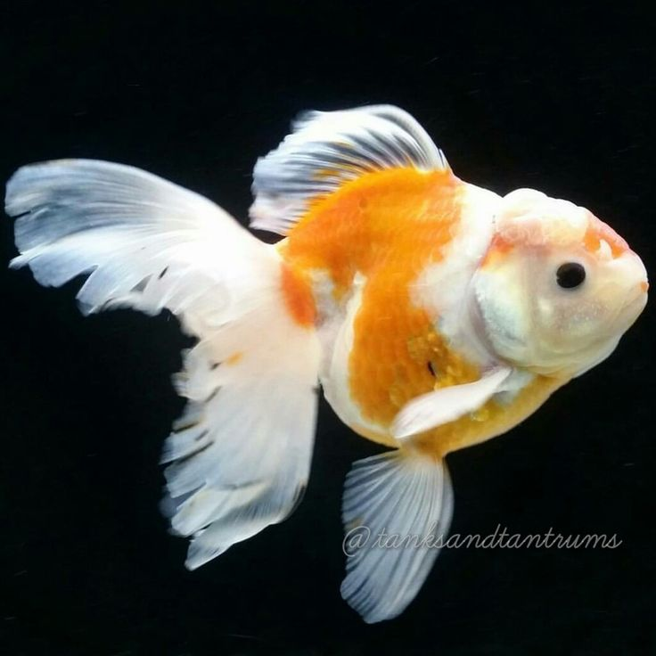 17 best images about aquarium gold fish on pinterest for Golden fish pipe