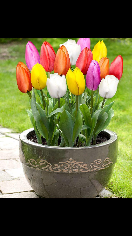 Vitenskapelig navn: tulipa, tulipan
