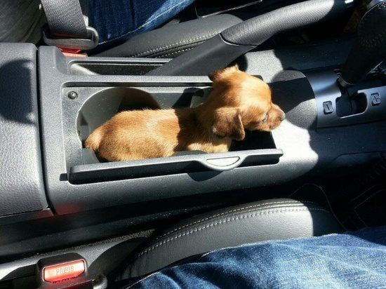 Puppy in a cup holder. The precious might kill me!