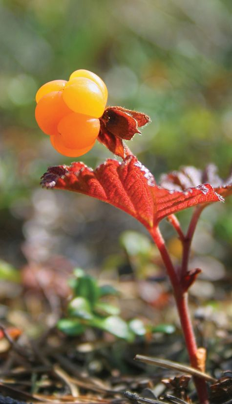 The Arctic Cloudberry is ripened under the phenomenon of the Midnight Sun of…