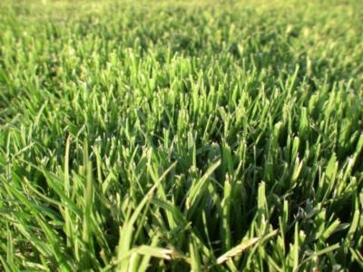 Oz Tuff Couch is a drought tolerant turf, which recovers quickly after stressful periods. Its extensive deep root system is a strong advantage in our ever changing climate.  Oz Tuff Couch has limited seed heads however it does lose the most colour out of the couch varieties. | Lilydale Instant Turf | Love your lawn | Great grass | Lily & Dale | Follow us | Garden Tips & Advice | Contact us | Lawn Solutions Australia