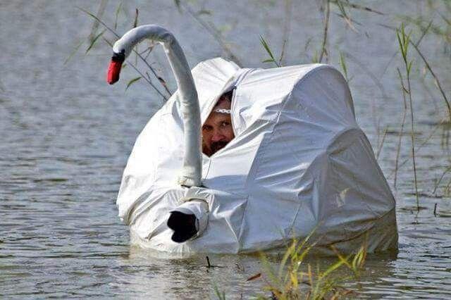 Cisne cuello blanco....