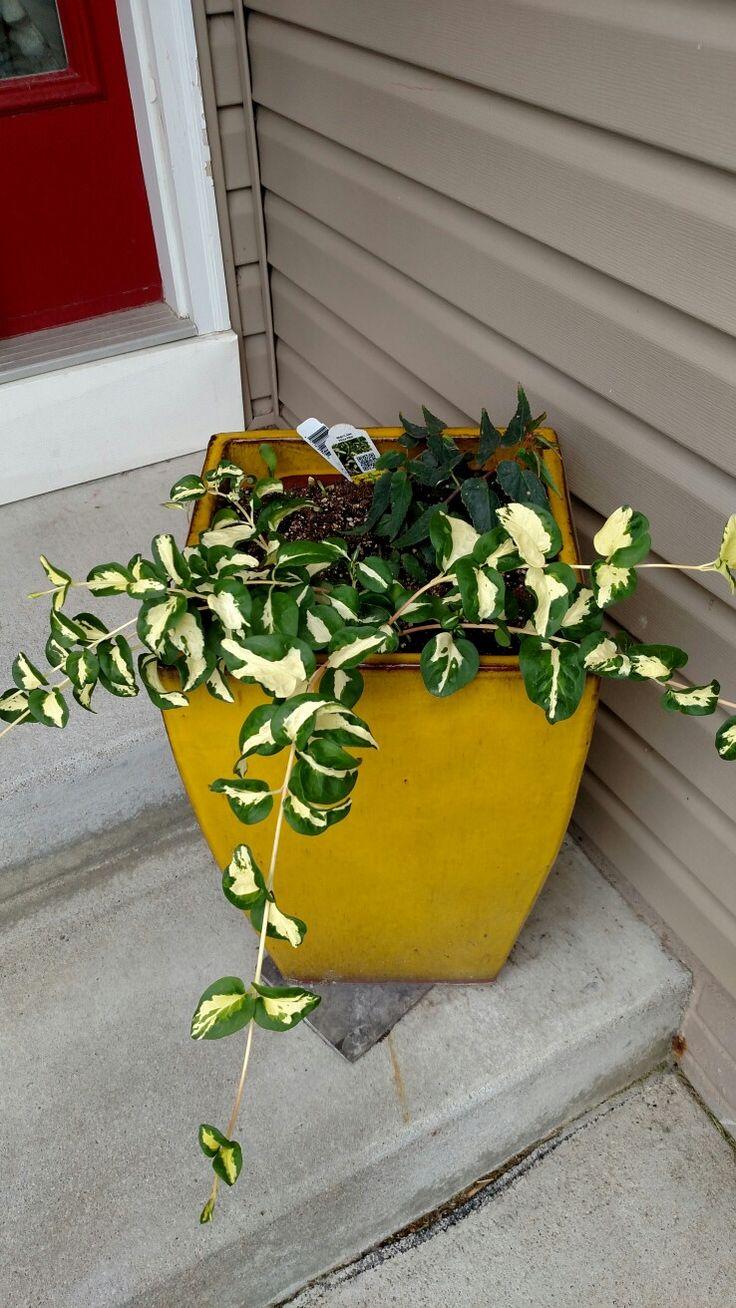 The 9 best yellow pot large images on pinterest yellow annual the 9 best yellow pot large images on pinterest yellow annual flowers and begonia boliviensis izmirmasajfo