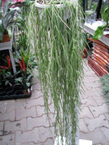 Hoya linearis sikkimensis