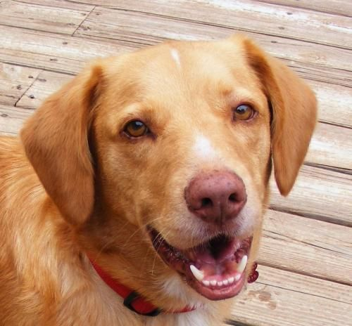 Meet Rusty -- new pics a Petfinder adoptable Nova Scotia Duck-Tolling Retriever Dog | Memphis, TN | Rusty is a 3 year old male Nova Scotia Tolling Duck Retriever/Yellow Lab mix. He was rescued from a...
