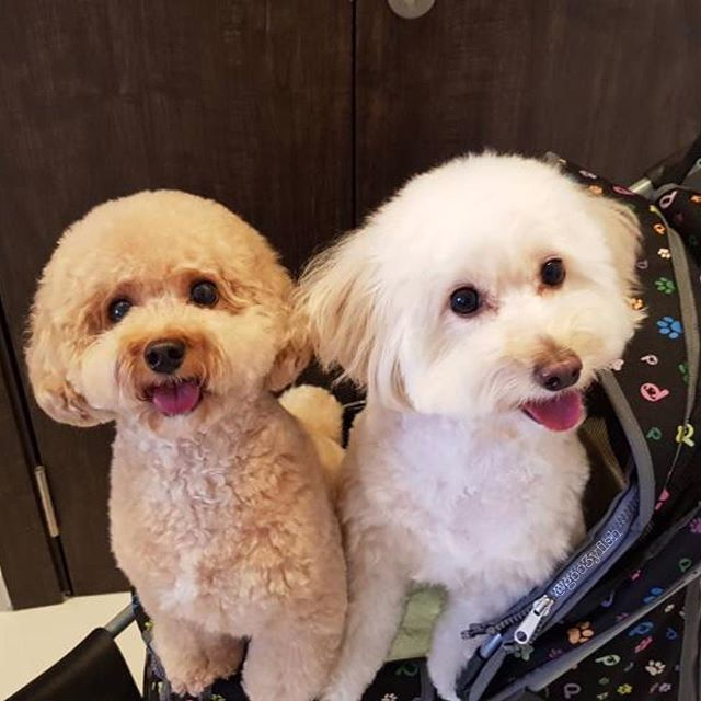 I miss you girls so much! Mummy will be coming home soon! 💋 #bellatheivorypoodle #ambertheamberpoodle