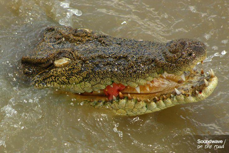 Saltwater crocodile in Australia
