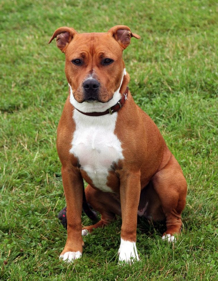 129 best images about American staffordshire terrier on ...