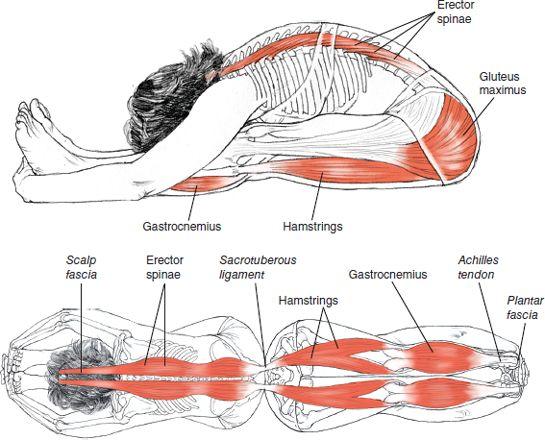 Paschimottanasana Leslie Kaminoff Yoga Anatomy Illustrated by Sharon Ellis