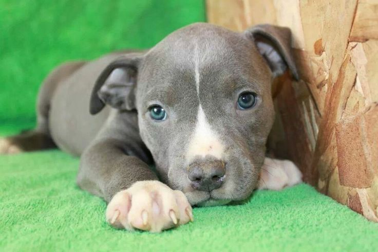 Blue Nose Pitbull Puppies are so cute and friendly! But these bluenose Pit Bull Puppies are so delicate and need special attention. Learn more Here!