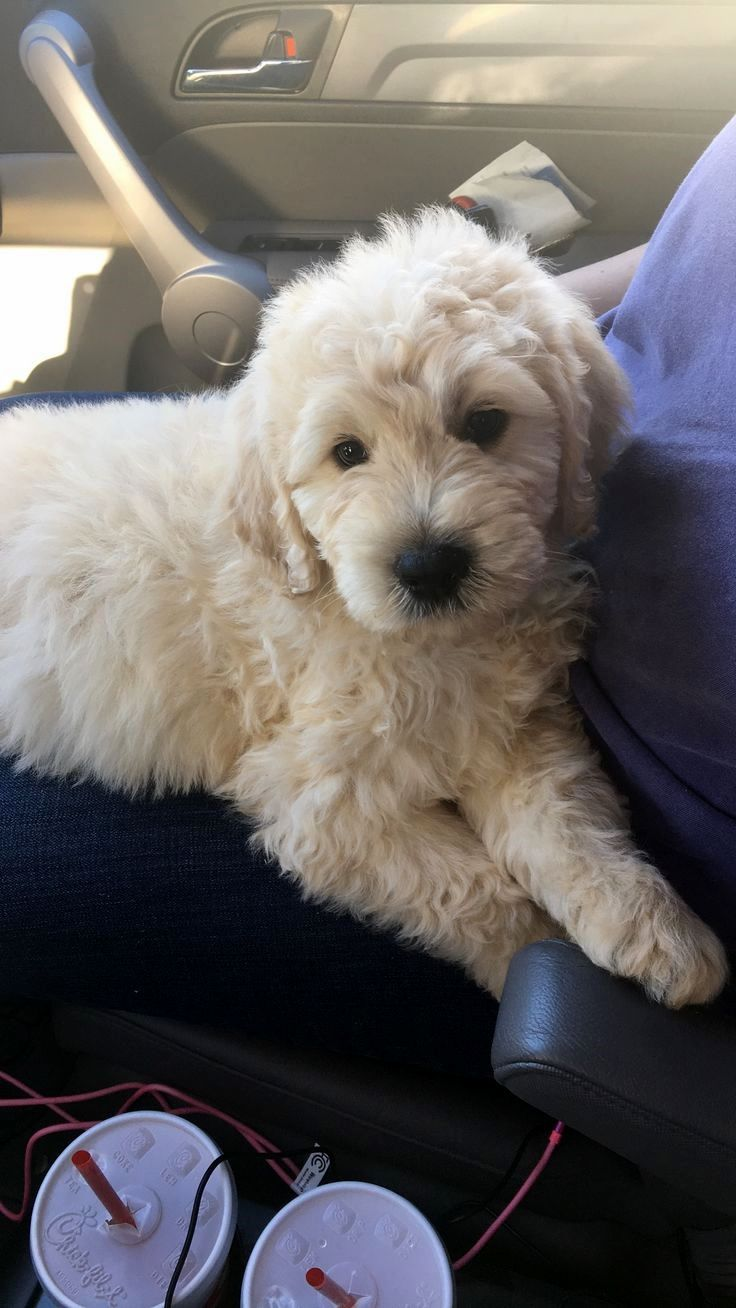 Pin by Diane E. Stokley on Goldendoodle Goldendoodle