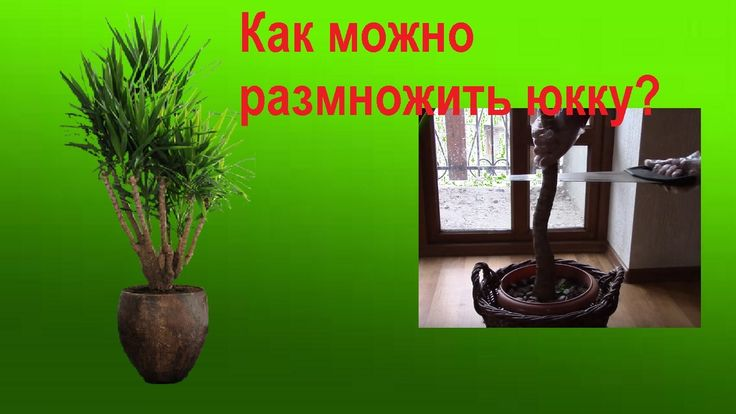 Юкка.  Красавица юкка   неприхотливое растение.   Как размножить юкку?  ...