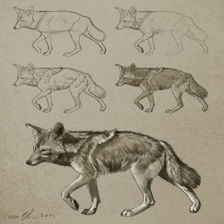 how to draw a coyote video