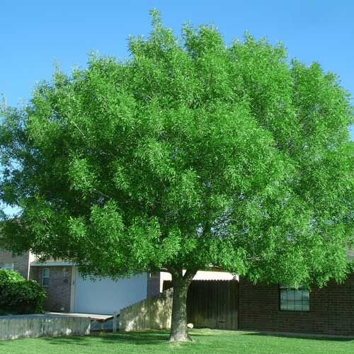 Bonita Ash Tree...Cimmaron Ash Tree Fall Color | Browse Bonita Ash Trees for Sale