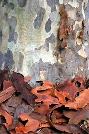 gum tree pictures - Google Search