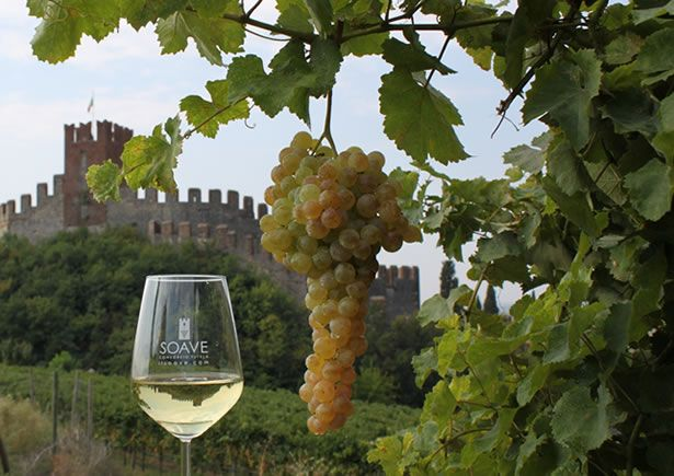 Soave grapes growing in the countryside of Verona, Italy.