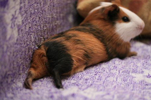 I used to have Guinea pigs... now I don't, but I do know what the word sleep means now