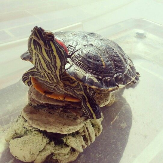 ♡ turtle