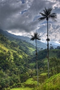 Colombia has the biggest diversity of palms in the world. Wax Palms, Colombia's National Tree.  Come and visit us at www.going2colombia.com