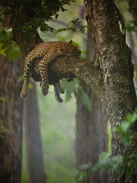 Leopard sleeping in the tree on a cold foggy morning in the Bandipur Forest about 200 miles from Bangalore