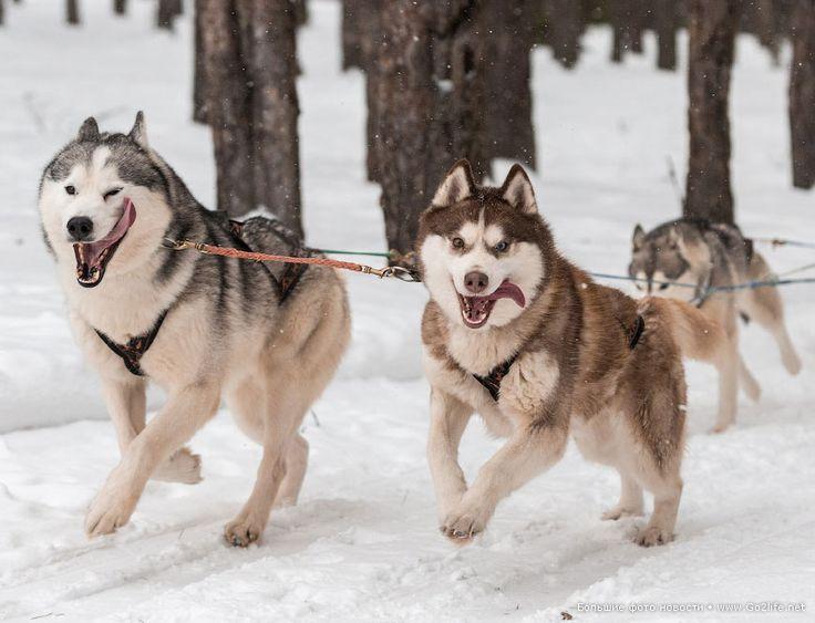 """37 качественных снимков самой красивой собаки. Хаски, несмотря на то, что иногда их называют собачками для женщин – всё-таки являются породой ездовых собак. В наше время выведенная порода """"сибирский хаски"""" используется не только как ездовая, но и как собака-партнер для шоу и выставочная собака."""