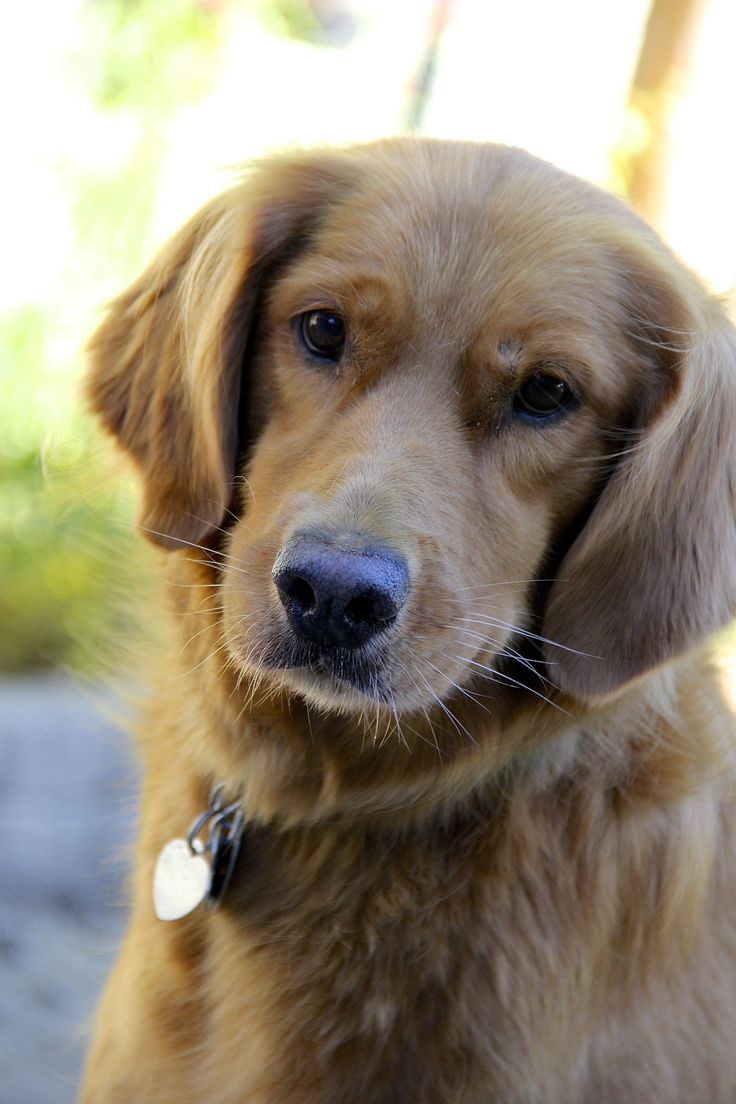 Pin by Cara on Golden Hope Puppies, Dogs, Dog lovers