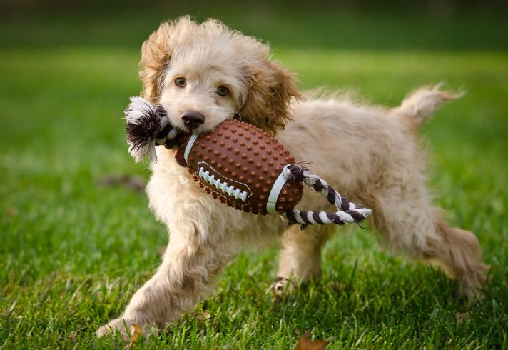 A Puppy Runs In The Grass With A Toy In Its Mouth With Images