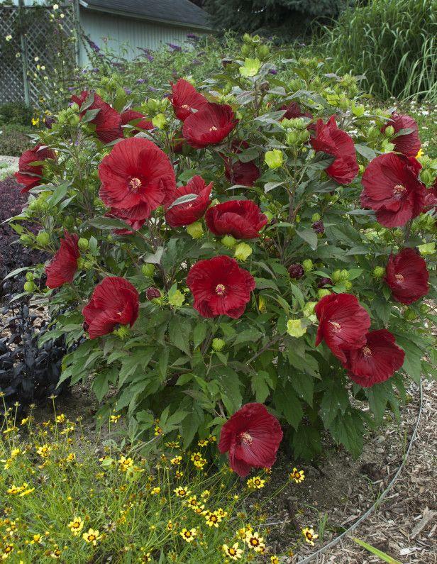 Cranberry Crush Hardy Hibiscus (Hibiscus 'Cranberry Crush'), courtesy of www.PerennialResource.com