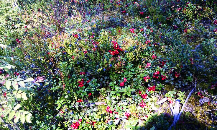 Lingonberries and blueberries await to be picked in Finnish wood. Photo by Pirjo Salo.