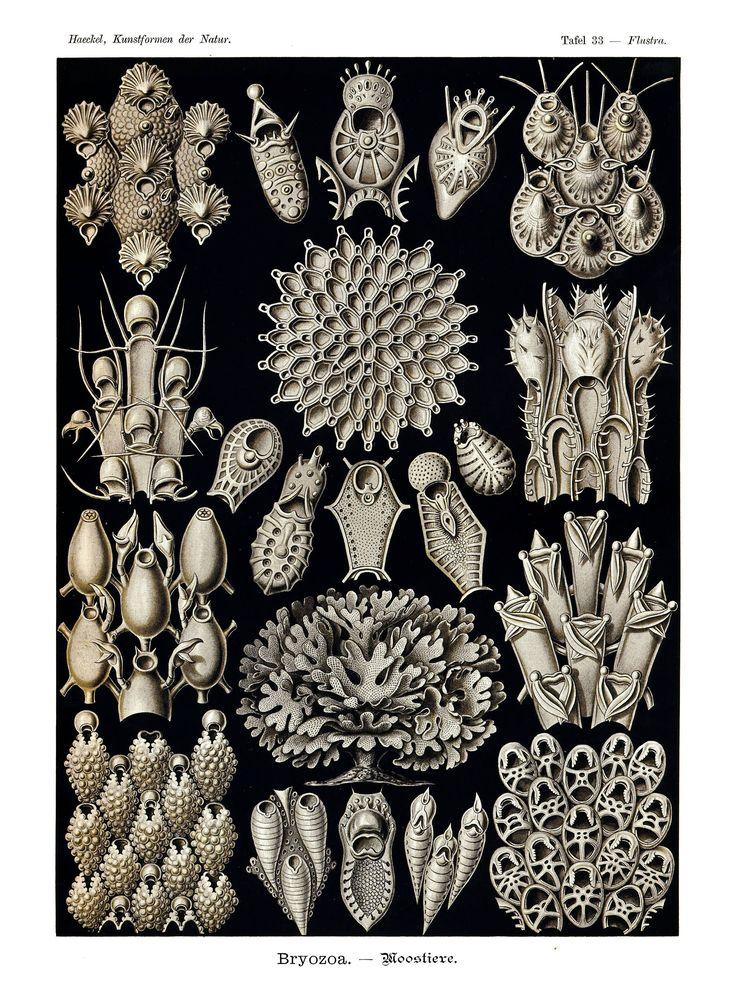 Ernst Haeckel's Vintage Artwork Bryozoa – Faeries Moonshine