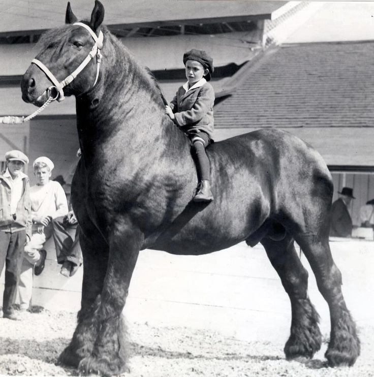percheron--now that's what i call a big horse!