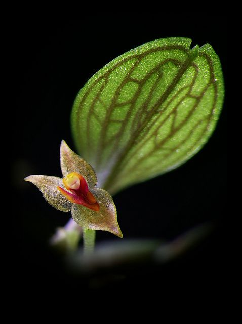 Lepanthes, new species by Daniel-CR, via Flickr