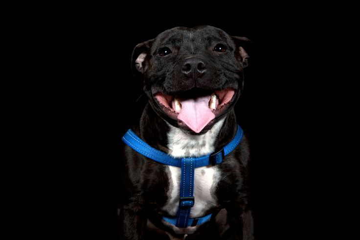 Charlie - Staffordshire Bull Terrier All images © www.thebeingproject.co.za